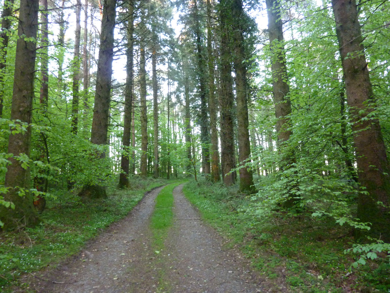 Majestic trees in the woodlands around Cullintra House, Kilkenny, Ireland